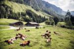 Almwiese mit Kühen